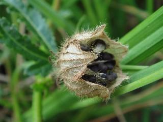 Hibiscus trionum *