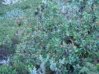 Laurophyllus capensis