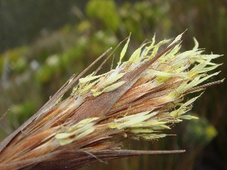 Tetraria bromoides