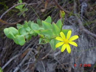Osteospermum rotundifolium