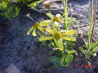 Osteospermum tomentosum