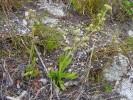 Crassula nudicaulis var. nudicaulis