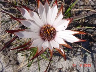 Dimorphotheca nudicaulis var. graminifolia