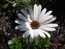 Dimorphotheca nudicaulis var. nudicaulis