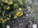 Hermannia grossularifolia