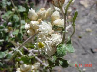 Helichrysum pandurifolium