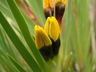 Witsenia maura