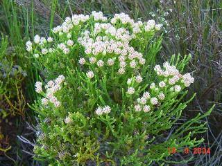 Brunia paleacea