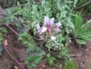 Pelargonium candicans