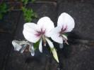 Pelargonium suburbanum subsp. bipinnatifidum