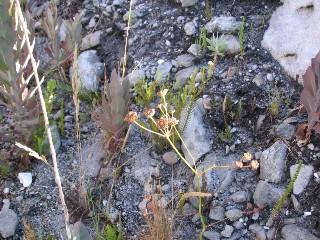 Annesorhiza triternata