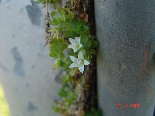 Wahlenbergia procumbens