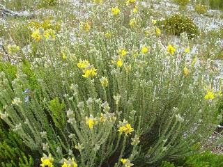 Aspalathus quinquefolia subsp. virgata