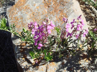 Indigofera angustifolia var. angustifolia