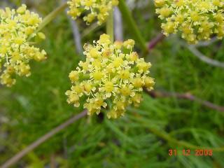 Nanobubon capillaceum var. rigidum