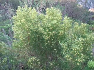 Leucadendron salicifolium