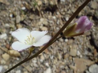 Heliophila macra
