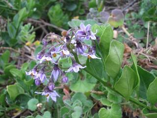 Solanum africanum