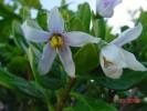 Solanum guineense