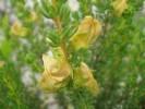 Aspalathus citrina