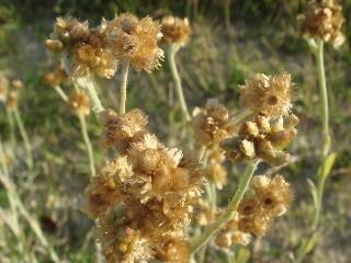 Pseudognaphalium luteo-album *