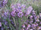 Erica glabella subsp. laevis