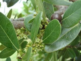 Sideroxylon inerme subsp. inerme