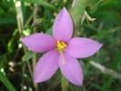 Chironia decumbens