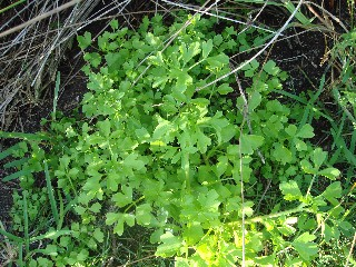 Apium graveolens *