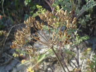 Dasispermum suffruticosum