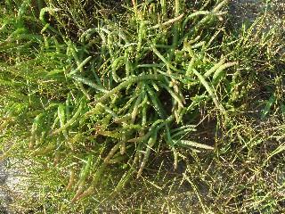 Sarcocornia natalensis var. natalensis