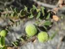Morella cordifolia