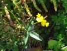 Rhynchosia capensis