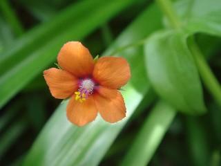 Anagallis arvensis subsp. arvensis *