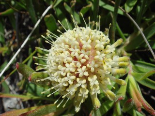 Leucospermum pedunculatum