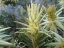 Phylica plumosa