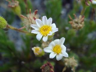 Felicia tenella subsp. pusilla