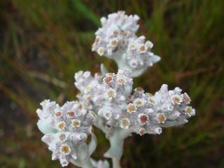 Vellereophyton dealbatum