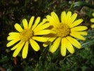Ursinia anthemoides subsp. anthemoides