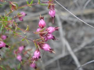 Erica filiformis