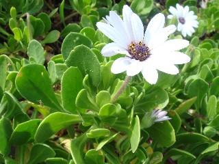 Dimorphotheca fruticosa