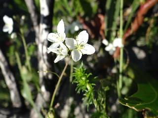 Heliophila meyeri