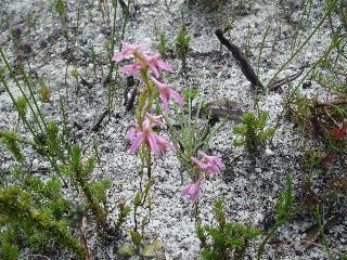 Disa obliqua subsp. clavigera