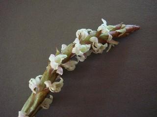 Satyrium stenopetalum subsp. brevicalcaratum