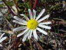 Felicia tenella subsp. tenella
