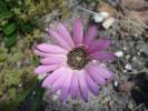 Gerbera crocea