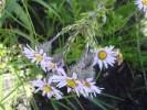 Athrixia heterophylla