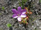 Geissorhiza hesperanthoides