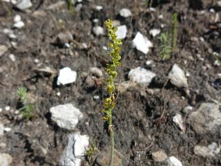 Holothrix brevipetala