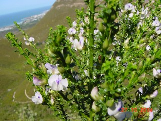 Psoralea aculeata